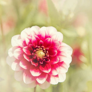 Pink & White Dahlia Photograph | Nature Wall Art Print Tracey Capone Photography