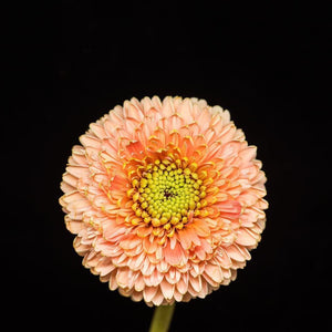 Portrait of a Pink and Green Daisy-Tracey Capone Photography