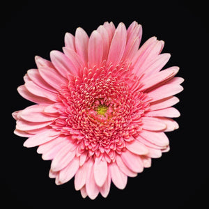 Portrait of a Pink Daisy No. 2-Tracey Capone Photography