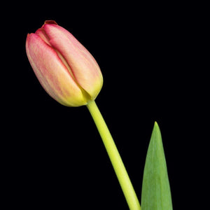Portrait of a Pink Tulip No. 1-Tracey Capone Photography