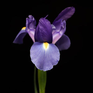 Portrait Of A Purple Iris No. 2 Tracey Capone Photography