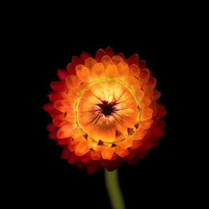 Portrait of a Red Strawflower No. 1-Tracey Capone Photography