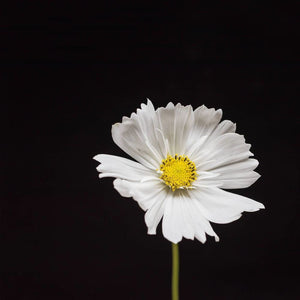 Portrait of a White Cosmos No. 1-Tracey Capone Photography