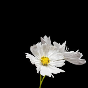 Portrait of a White Cosmos No. 2-Tracey Capone Photography