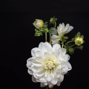 Portrait of a White Dahlia No. 1-Tracey Capone Photography