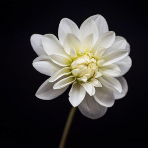 Portrait of a White Dahlia No. 3-Tracey Capone Photography
