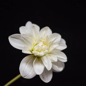 Portrait of a White Dahlia No. 4-Tracey Capone Photography