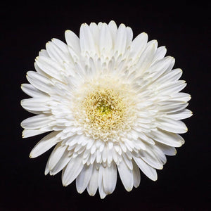 Portrait of a White Daisy No 1-Tracey Capone Photography