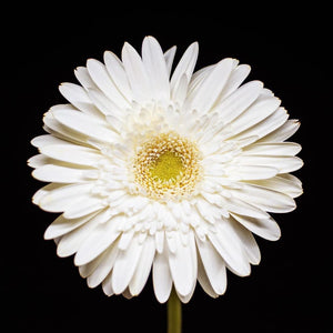 Portrait of a White Daisy No. 3-Tracey Capone Photography