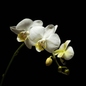 Portrait of a White Orchid No. 1-Tracey Capone Photography
