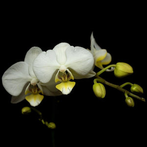 Portrait of a White Orchid No. 2-Tracey Capone Photography