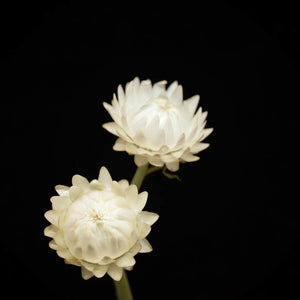 Portrait of a White Strawflower No. 1-Tracey Capone Photography