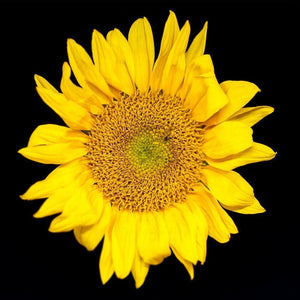 Portrait of a Yellow Sunflower No. 1-Tracey Capone Photography