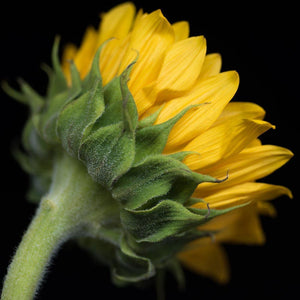 Portrait of a Yellow Sunflower No. 2-Tracey Capone Photography