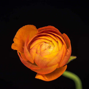 Portrait of an Orange Ranunculus No. 2-Tracey Capone Photography