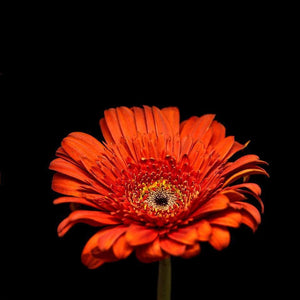 Portrait of Red Gerbera Daisy No. 1-Tracey Capone Photography