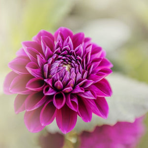 Photograph of Purple Dahlia, Nature Photography Tracey Capone