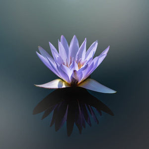 Purple Lotus Photograph | Fine Art Nature Photography Tracey Capone Photography