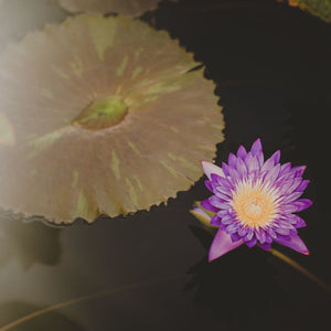Purple Lotus | Water Lily Photograph Tracey Capone Photography