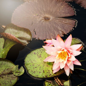 Rise Up | Pink Lotus Flower Photograph Tracey Capone Photography