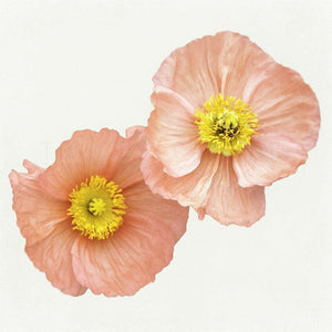 Softly No 2 | Two Pink Poppies-Tracey Capone Photography