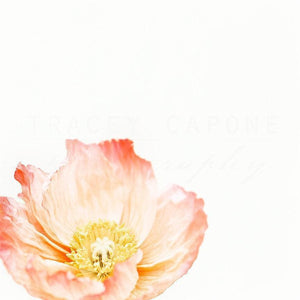Softly No. 3 | Blush Pink Poppy Flower-Tracey Capone Photography