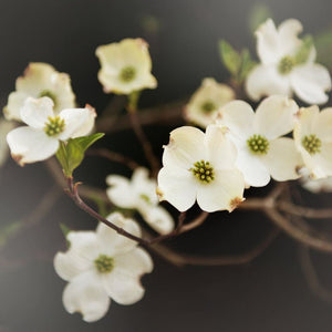 Stand Out | Nature Photography Dogwood Flower Tracey Capone Photography