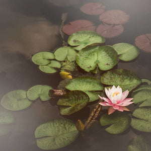 Water Lily | Pink Lotus Photograph-Tracey Capone Photography