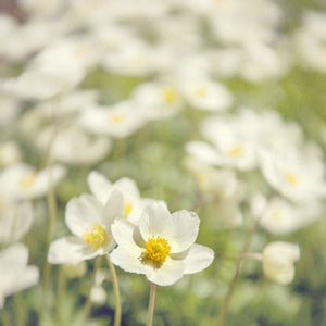 White Anemones | Pictures Of Flowers Tracey Capone Photography