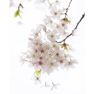 White Cherry Blossoms No. 1 | Flower Photograph Tracey Capone Photography