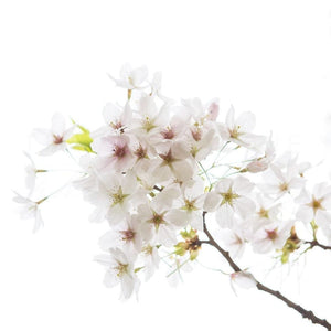 White Cherry Blossoms No. 2 | Nature Photography Tracey Capone Photography
