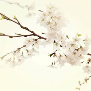 White Sakura | Cherry Blossoms-Tracey Capone Photography
