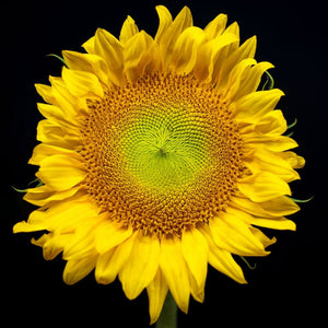 Yellow Sunflower Photograph | Nature Wall Art Print Tracey Capone Photography