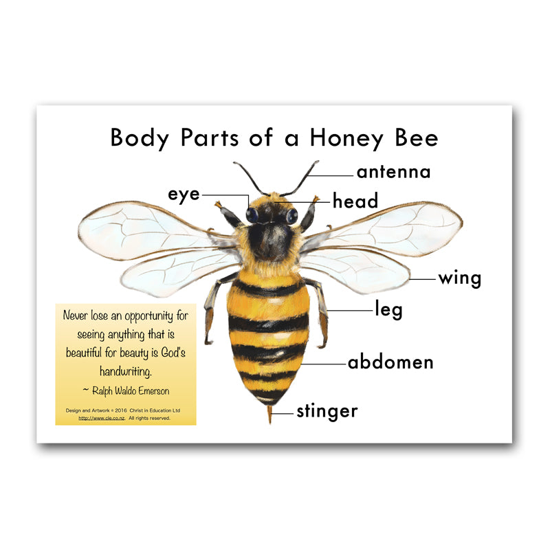 Body Parts of a Honey Bee Poster | Christ in Education Ltd