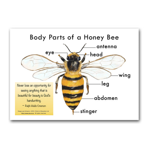 Body Parts of a Honey Bee Poster