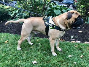 A Harness for Large Breeds: Big Dog Harness at Paw Five.com