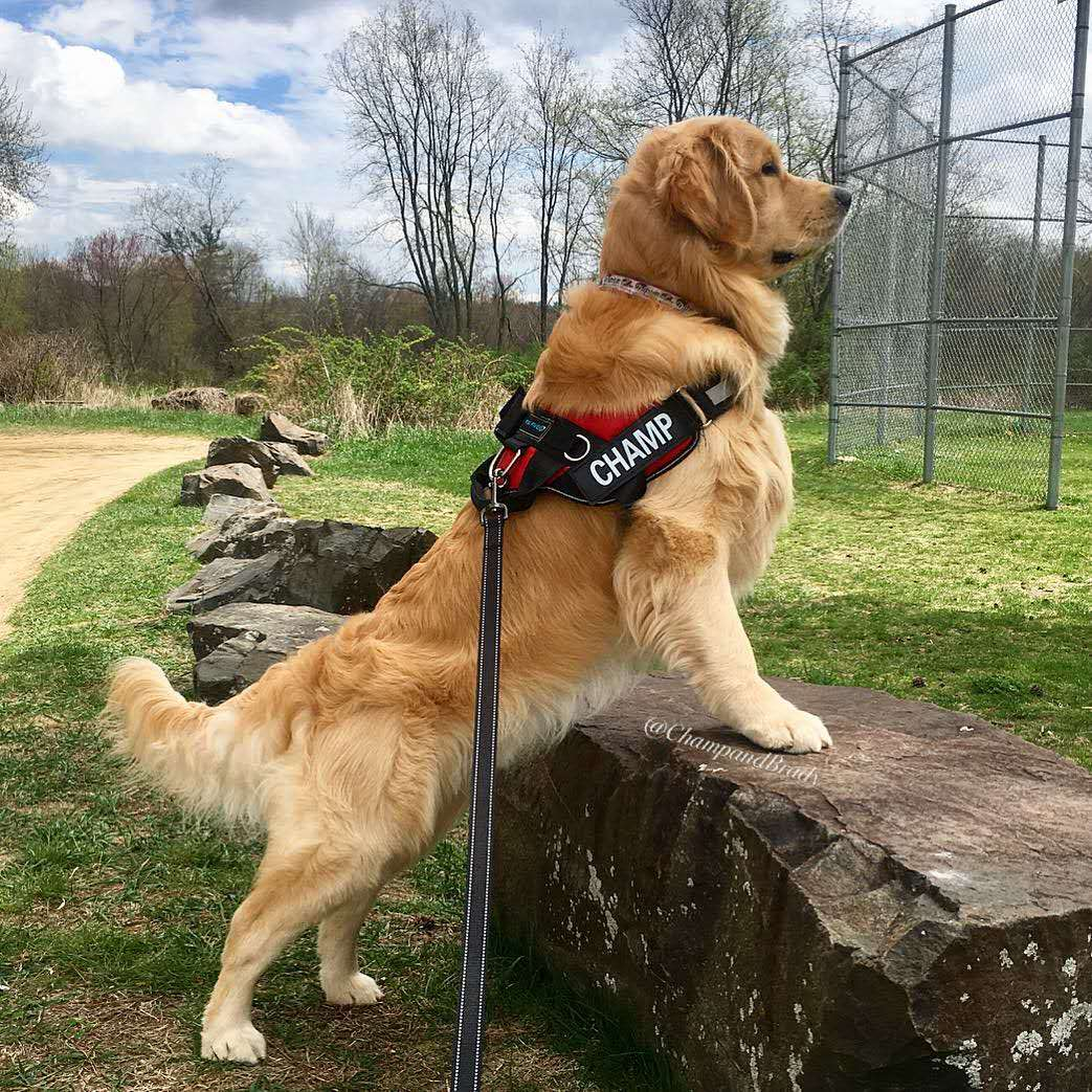 The Best Service Dog Harness for 2021!