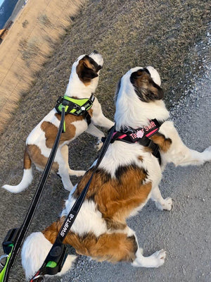 Loose-leash Training with a No-pull Dog Harness