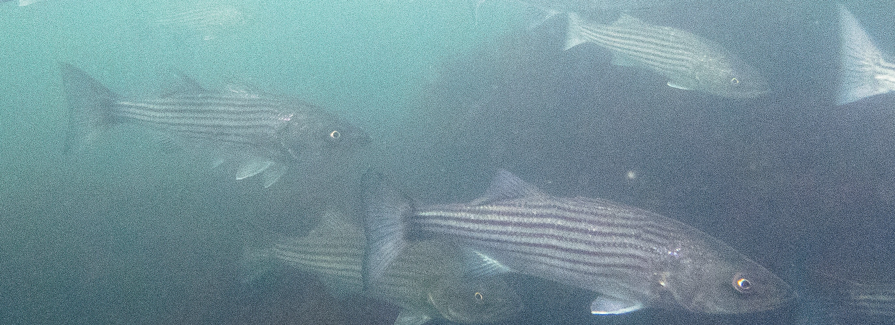 Comments on Atlantic Striped Bass Amendment 7 Public Information Document