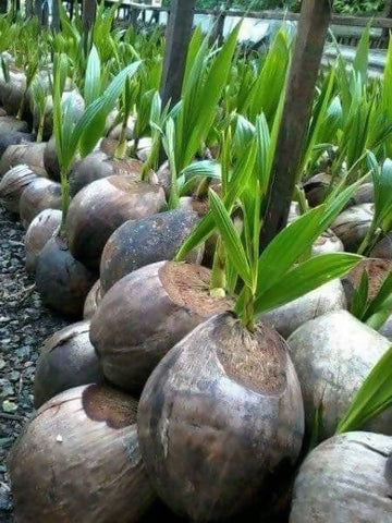 Coconut Tree (Mnazi)