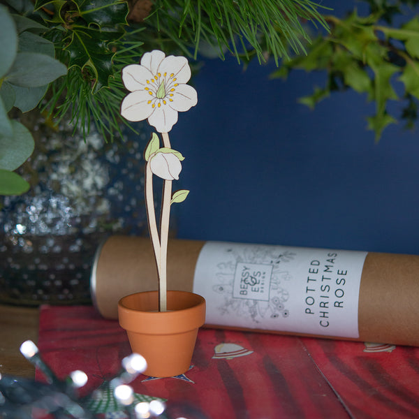 Single wooden Christmas Rose stem in a Terracotta Pot