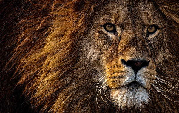 Close up of lion head