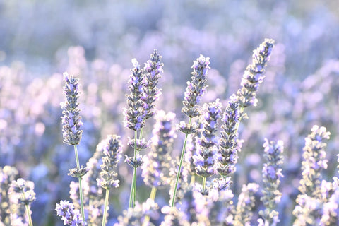 Commonly used as a sleep aid, lavender essential oil can also be combined with other essential oils and may help reduce snoring.