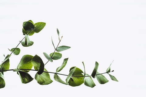 Eucalyptus (Eucalyptus globulus) is typically used for its soothing effects when inhaled.