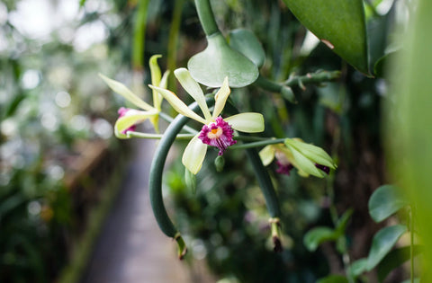Vanilla planifolia is a member of the orchid family and is thought to have originated in Mexico