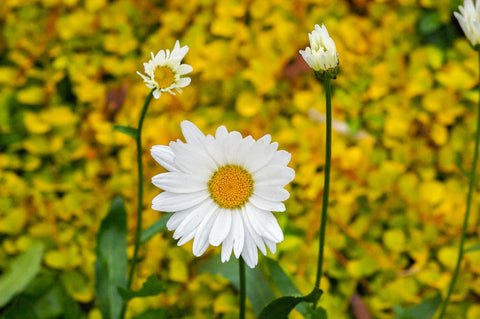 chamomile flowers for making tear inhaling essential oil for stress relief