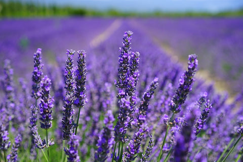 lavender field for the making of lavender essential oil to relieve anxiety