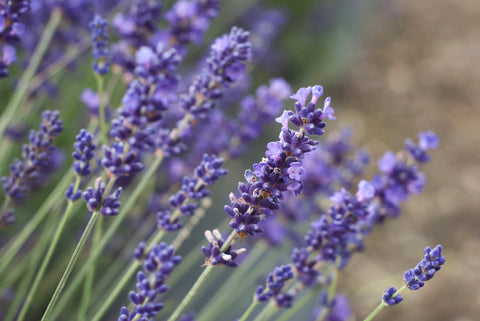 Lavender flower field close up