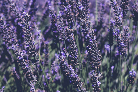 lavender helps with dreams