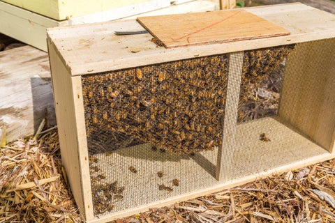 3 pound package of honey bees & unmarked mated queenbee